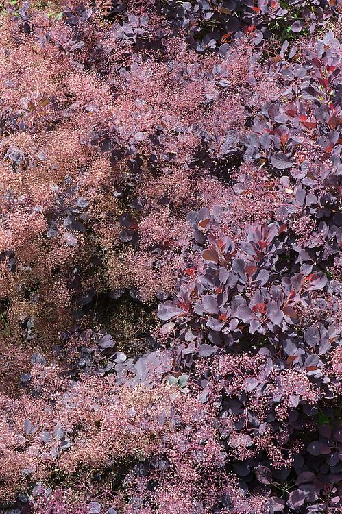 Cotinus coggygria 'Royal Purple', late June.