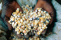Kenya 2004 Agriculture. Genetically Modified Maize