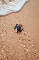 green sea turtle, Chelonia mydas, hatchling, Florida, USA, Caribbean Sea, Atlantic Ocean (cr)