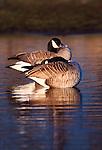 Canada geese, Sacramento National Wildlife Refuge Complex, California, USA
