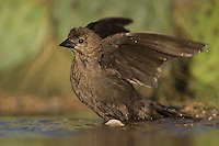 Brown-headed Cowbird, Molothrus ater, female bathing, Uvalde County, Hill Country, Texas, USA, April 2006