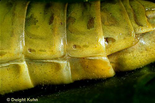 """OR004-012z  Grasshopper - spiracles, short horned or """"true"""" grasshopper, two-striped grasshopper - Melanoplus bioittatus"""