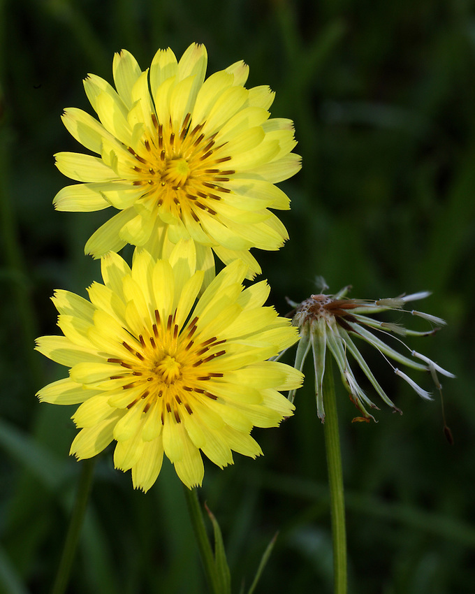 "Different from the common dandelion, it is much larger and taller and is sometimes called ""False dandelion""."