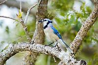 blue jay, Cyanocitta cristata, Florida, USA, America, North America