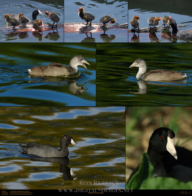 Coots of All Ages American Coot Rallidae Fulica americana Southern California Composite Image