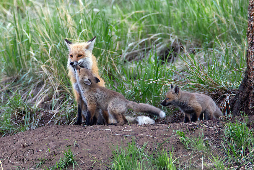 These foxes (Vulpes vulpes) kits are hopeful their parent has food to share. The reflex action is activated by the young massaging the throat and lower jay area.