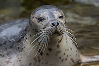 Harbor Seal (Phoca vitulina) Pacific Northwest.  Winter.
