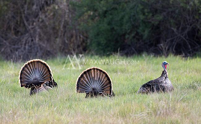 Wild turkey males display in Pinnacles National Park.