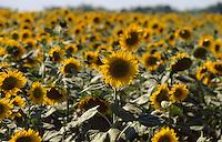 Bulgarien, Dobrudscha, Sonnenblumenfeld