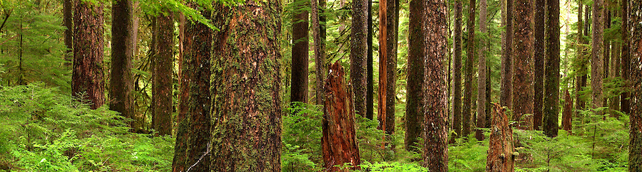 Panoramic view of old grown tree trunks, Soleduck River Valley, Olympic National Park, Olympic Peninsula, Clallam County, Washington, USA