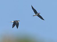 Black-winged Pratincole - Glareola nordmanni