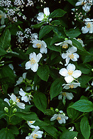 Philadelphus coronarius shrub in bloom, fragrant bush, mockorang
