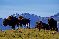 Flock of buffalos in Waterton National Park foto, reise, photograph, image, images, photo,<br /> photos, photography, picture, pictures, urlaub, viaje, vacation, imagen, viagi, stock