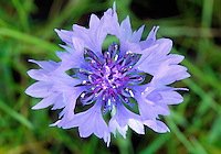 CORNFLOWER Centaurea cyanus (Asteraceae) Height to 90cm. Creeping perennial with upright flowering stems that are winged below leaf stalks and swollen beneath flower heads. Grows in arable fields and on disturbed ground. FLOWERS in heads, 15-30mm across, with bluish outer florets and reddish purple inner florets (Jun-Aug). FRUITS are hairless. LEAVES are narrow; basal ones may be lobed. STATUS-Formerly a common arable 'weed' prior to the use of modern agricultural herbicides; now virtually extinct on farmland, seen mainly where seed is deliberately scattered.