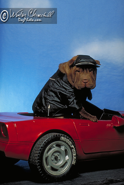humorous Chinese Shar-Pei in the studio, dressed in biker leather,driving a toy corvette<br /> <br />  Shopping cart has 3 Tabs:<br /> <br /> 1) Rights-Managed downloads for Commercial Use<br /> <br /> 2) Print sizes from wallet to 20x30<br /> <br /> 3) Merchandise items like T-shirts and refrigerator magnets