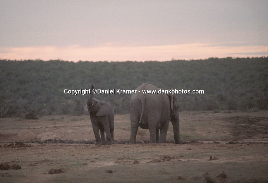 Elephants in the Addo Elephant National Park near Port Elizabeth in South Africa.
