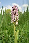 Early Marsh-orchid<br /> Dactylorhiza incarnata subsp. incarnata
