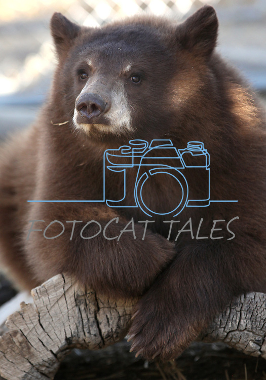A young female bear cub at the Animal Ark Wildlife Sanctuary in Reno, Nev., on Saturday, Oct. 21, 2011. .Photo by Cathleen Allison