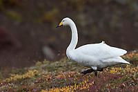 Singschwan, Sing-Schwan, Schwan, Cygnus cygnus, whooper swan, Le cygne chanteur, le cygne sauvage