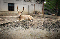 CHINA. Hubei Province. Wuhan. A 'David's Deer' in an enclosure in Wuhan zoo. In many of China's 'second-tier' cities, away from the modern zoos in the megacities of Beijing and Shanghai, hide a plethora of smaller unknown zoos. In these zoos, what can only be described as animal abuse is subtly taking place in the form of deprivation of light, space, sanitation and social contact with other animals. Living in awful conditions, these animals spend there days entertaining tourists who seem oblivious to the animals' plight and squalid existence. 2008.