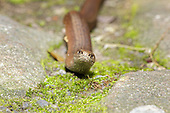 Slow-worm (Anguis fragilis) moving in between natural stone paving with tongue out. Slow worms do have a pair of eye so a little mis leading to refer to them as blind worms. One of the biggest causes of mortality in slow worms in suburban areas is the domestic cat, against which it has no defence. UK