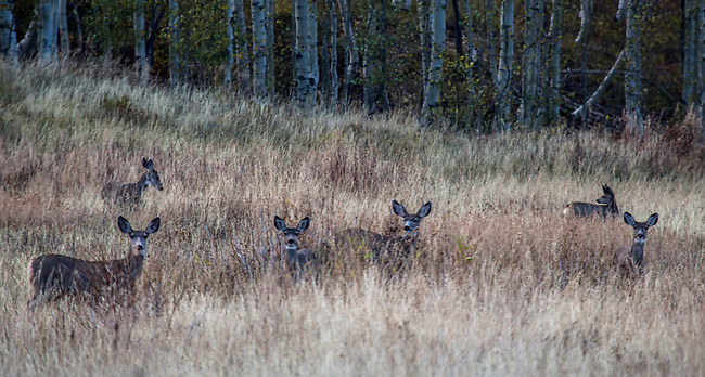 Mule deer graze during autumn in the highlands  in Southern Utah