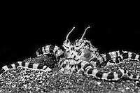 Wunderpus octopus (Wunderpus photogenicus) B&W