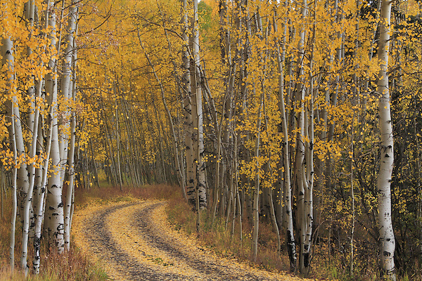 Dirt road and autumn aspen trees in San Juan National Forest, Telluride, Colorado, USA. John offers autumn photo tours throughout Colorado.