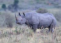 Kenyan Rhino  2015