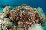 Clove polyps soft coral (Xenia sp.)