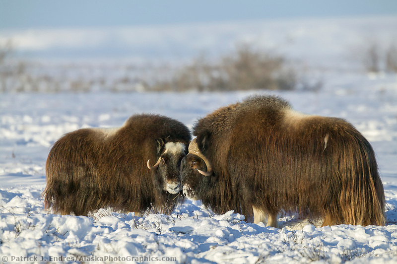Bull Muskoxen on the snow covered tundra of Alaska's Arctic Coastal Plain.