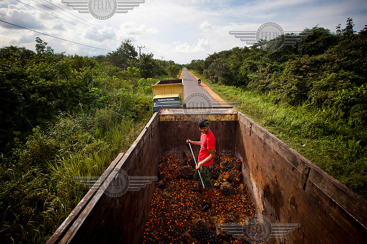 A worker gathers palm fruits onto a truck, parked on the main road that connects many palm oil plantations to Pelangkaraya, the capital city of Kalimantan. Indonesia is the largest producer of palm oil in world, with output estimates of about 23-25 million tonnes in 2012, from an estimated 8.2 million hectares of Indonesia land, mainly in Sumatra, Kalimantan and Sulawesi.