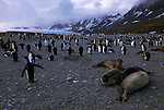 Southern elephant seals lay on the ground with king penguins in the background in St. Andrews Bay, South Georgia.