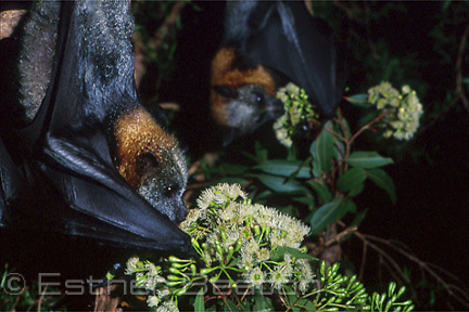 Grey-headed Flying Foxes (Pteropus poliocephalus) feeding on eucalypt blossoms. Sydney, NSW