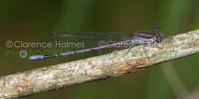 Variable Dancer (Argia fumipennis violacea) Damselfly - Male (Violet Dancer subspecies), Cranberry Lake Preserve, Westchester County, New York