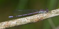 Variable Dancer (Argia fumipennis violacea) Damselfly - Male (Violet Dancer subspecies), Cranberry Lake Preserve, Westchester County, New York
