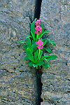 A lone parry primrose (Primula parryi) grows out from a crack in a granite wall in Rocky Mountain National Park, Colorado.