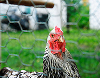 The Anthill Collective has several breeds of chickens, Buff Orpington, Americauna, Silver-laced Wyandotte, and Welsummer