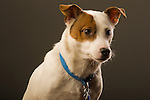 Emma. Jack Russell terrier. Age 5 female.