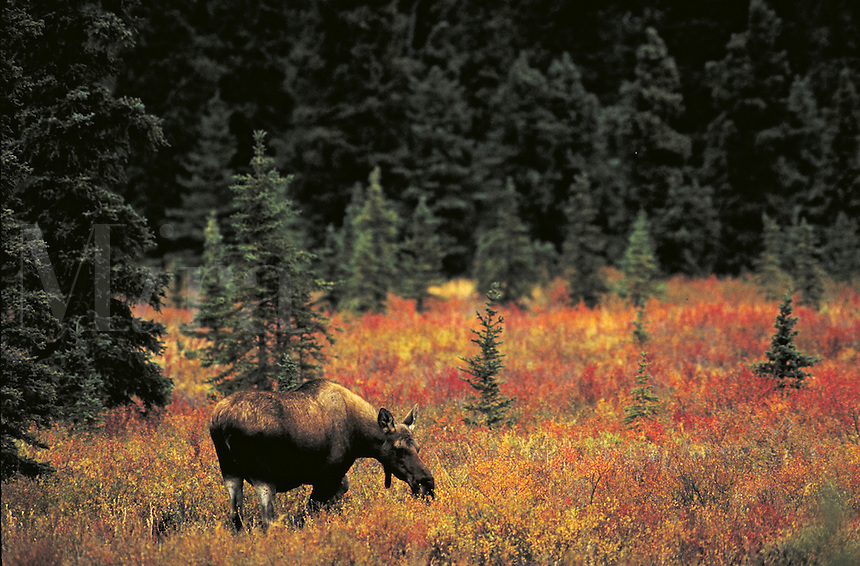 Moose cow grazing in fall tundra. Alaska USA Denali National Park.