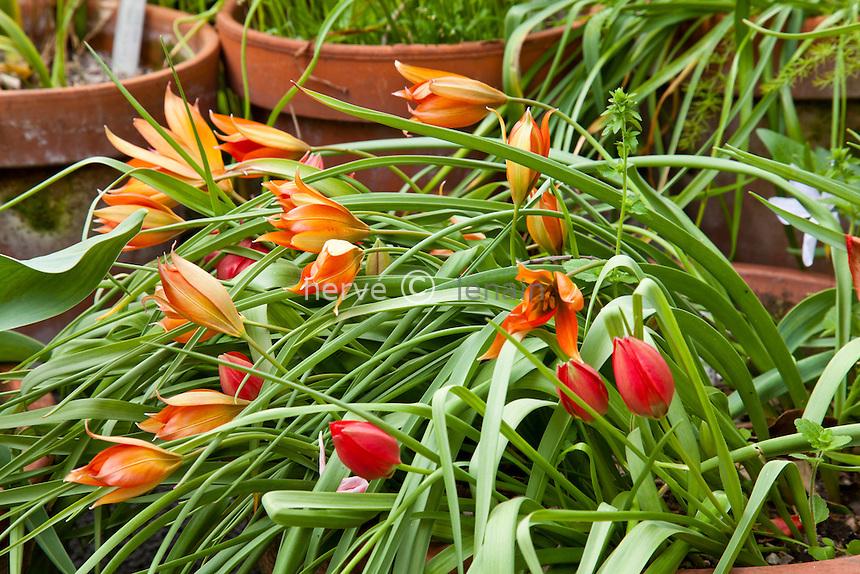 France, Alpes-Maritimes (06), Menton, le Clos du Peyronnet : .Tulipa hageri (= Tulipa doerfleri), une tulipe du bassin méditerranéen. Mention obligatoire du nom du jardin & utilisation presse et livre uniquement, accord préalable pour autre usage // France, Alpes-Maritimes, Menton, le Clos du Peyronnet : Tulipa hageri (= Tulipa doerfleri), a tulip from the Mediterranean basin. Obligatory mention of the garden's name. Only use for press and books, other use require the prior agrees of the owner.