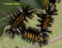 LE44-513z  Milkweed Tiger Moth Caterpillar on milkweed leaves, Euchaetias egle