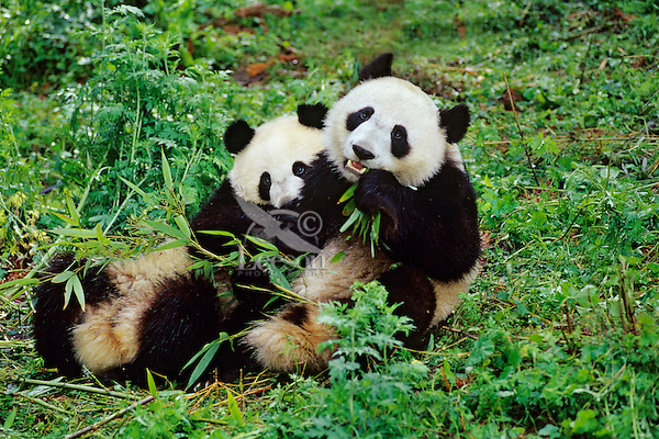 Two young pandas (about17 months) (Ailuropoda melanoleuca) Wolong Panda Preserve in the Qionglai Mountains in central China.