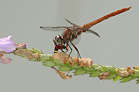 The Straw-colored Sylph (Macrothemis inacuta) occurs in Mexico and southward into South America, but in the United States it has only been found in a few areas of south Texas and Arizona.