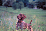 German Shorthair Popinter at work in the field Shopping cart has 3 Tabs:<br /> <br /> 1) Rights-Managed downloads for Commercial Use<br /> <br /> 2) Print sizes from wallet to 20x30<br /> <br /> 3) Merchandise items like T-shirts and refrigerator magnets