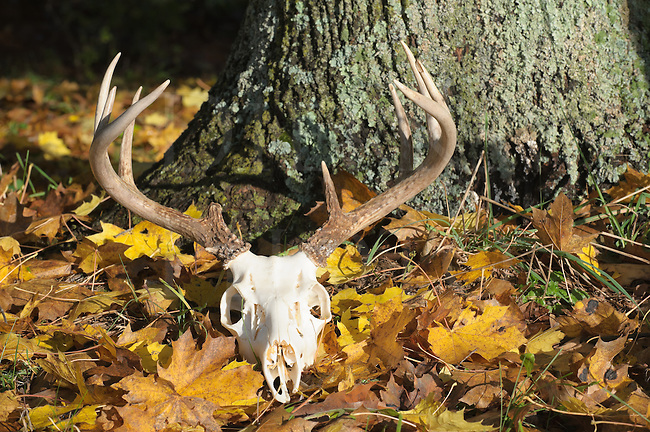 Deer skull with antlers laying abandoned in yellow fall leaves in sunlight, a twelve point buck rack.