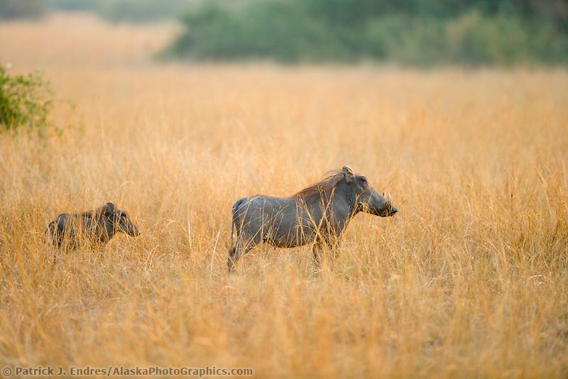 Warthog, Queen Elizabeth National Park, Uganda, East Africa