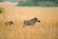 Warthog, Queen Elizabeth National Park, Uganda, East Africa