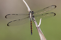 Bar-winged Skimmer (Libellula axilena) Dragonfly - Juvenile Male, Lake Kissimmee State Park, Lake Wales, Polk County, Florida