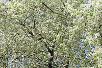 Felsen-Kirsche, Steinweichsel, Felsenkirsche, Stein-Weichsel, Prunus mahaleb, syn. Cerasus mahaleb, mahaleb cherry, St Lucie cherry, mahaleb-cherry, Bois de Sainte-Lucie, Cerisier de Sainte-Lucie, Faux merisier